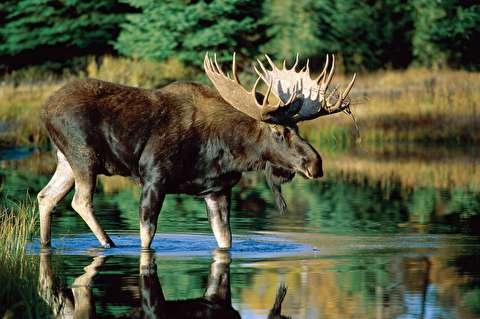 موس بزرگترین گوزن در دل طبیعت
