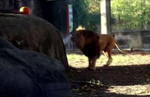 بازی شیر در باغ وحش با کدو