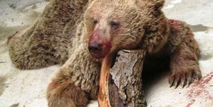 حکم تعجببرانگیز؛ ضاربین خرس سوادکوهی تبرئه شدند
