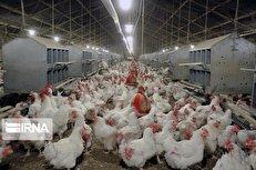هشداری که باید جدی گرفت؛ مرغداران، نوروز ۱۴۰۰ گرفتار بی تدبیری مسئولان میشوند؟