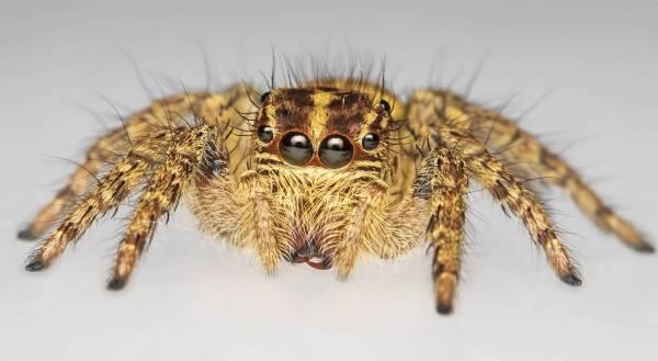 عنکبوتهایی که ۸ چشم دارند