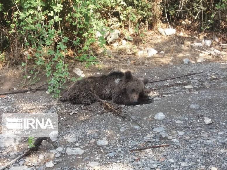 کشف لاشه ۱ خرس در ارتفاعات توسکستان گرگان