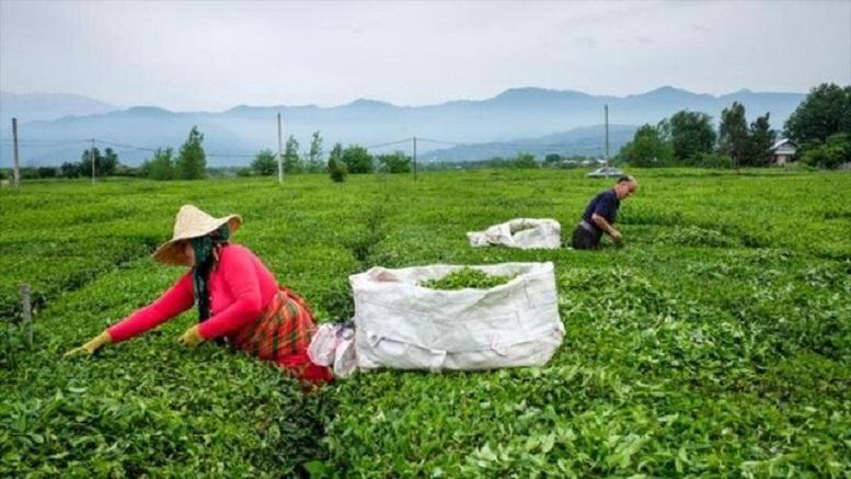 تفاوت نجومی قیمت چای از مزارع تا بازار در مازندران