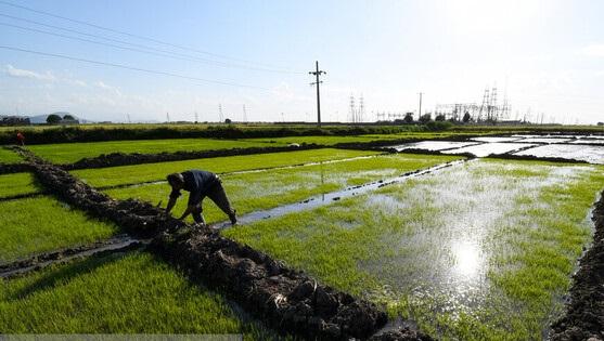 ممنوعیت کشت برنج در سال آینده لغو میشود