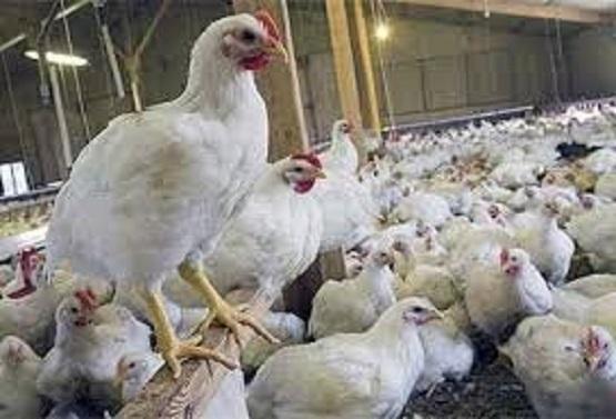 برخورد با متخلفین تولید و فروش مرغ در فارس