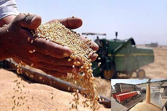 خرید ۱.۵ میلیون تن گندم/ روزهای خوب خرید در پیش است