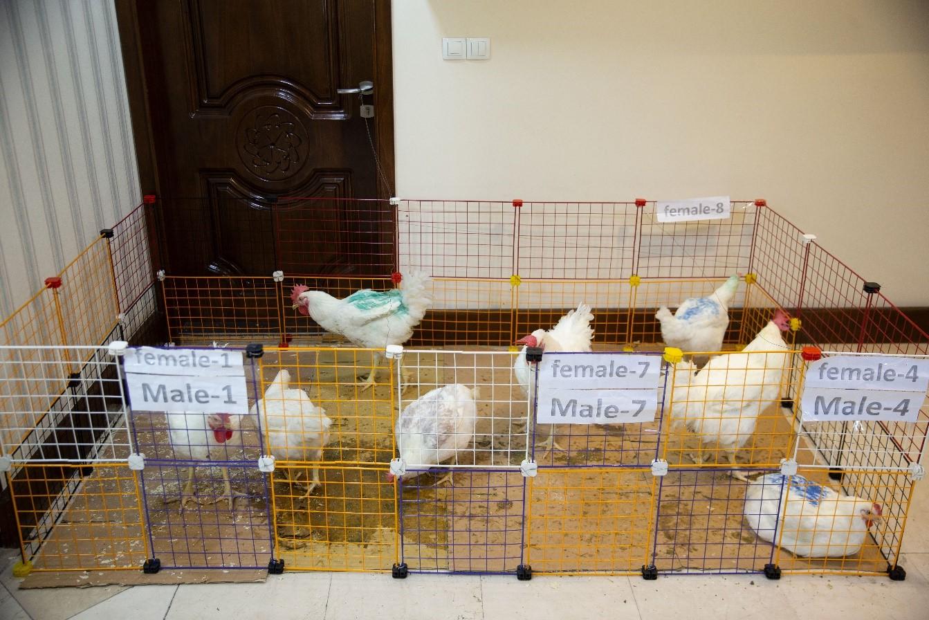 معرفی لاین مرغ بومیسازی شده کوثر7 و احیای لاین مرغ آرین