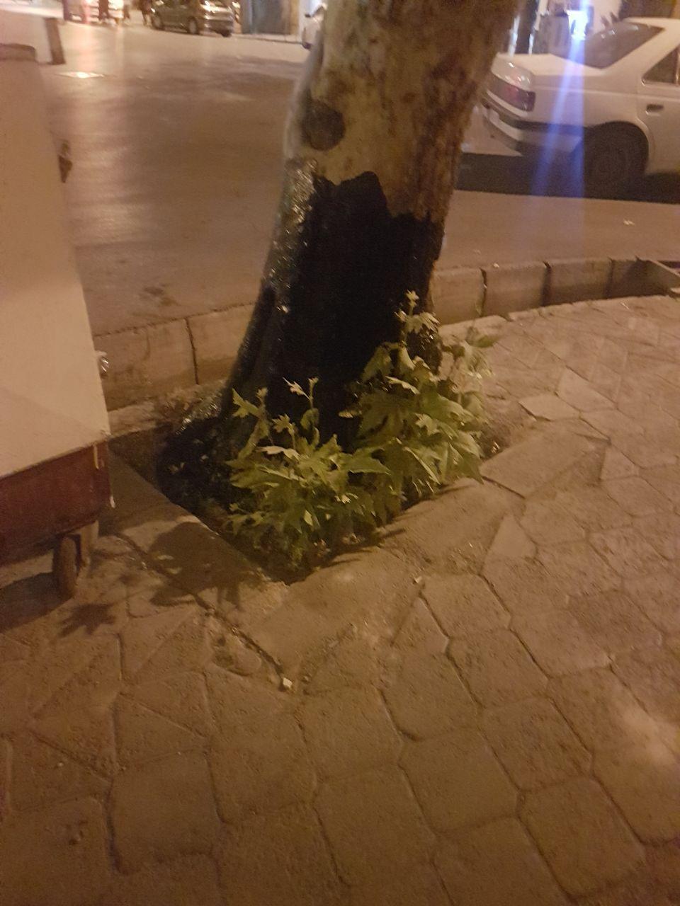 ریختن محلول نامعلوم (احتمالا قیر و گازوئیل) برای خشکاندن درخت