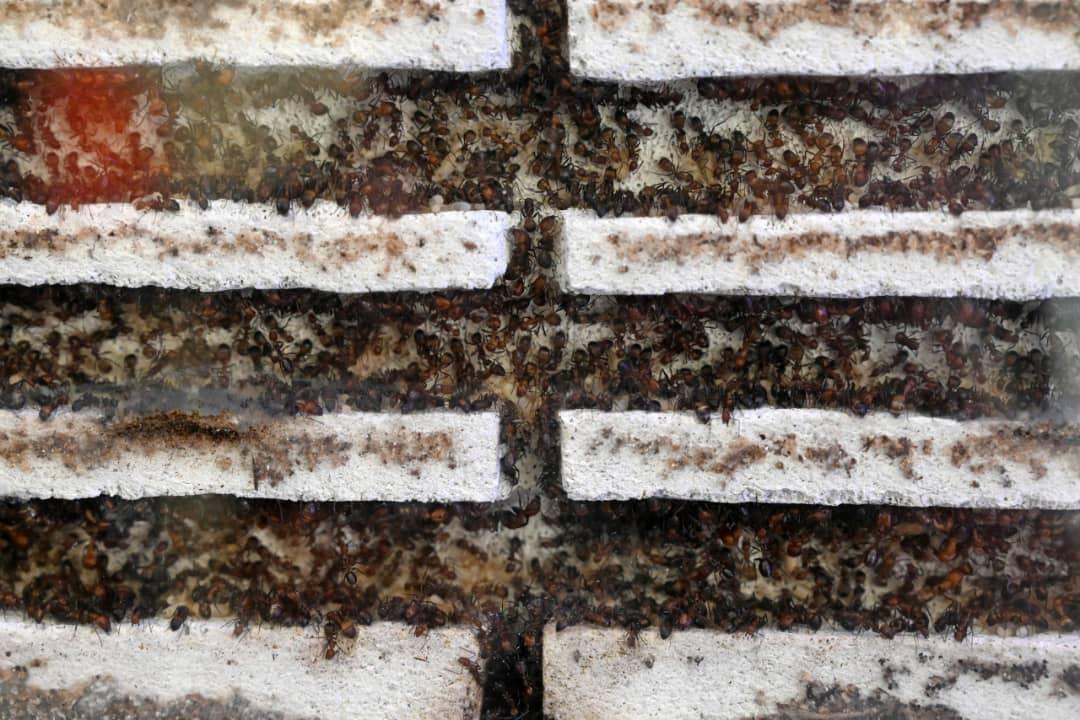 فروش ویژه مورچه در سنگاپور