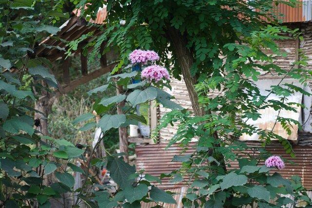 مشاهده رویش گونه گیاهی مهاجم در شمال کشور