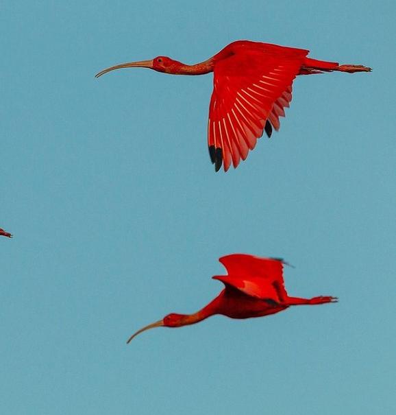پرندهای عجیب با رنگ قرمز!