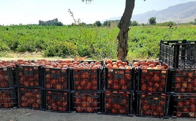 ۷۰هزار تن گوجهفرنگی وارد بازار میشود