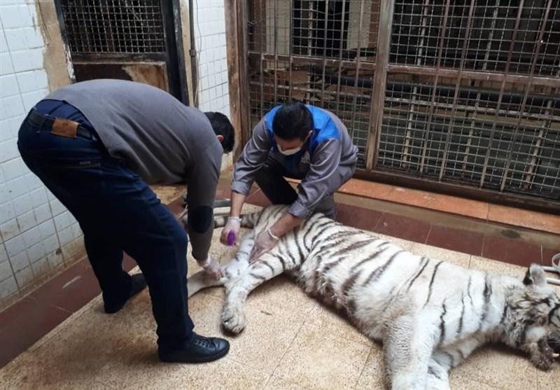 درگیری مرگبار بین ببرهای نر و ماده در باغ وحش ارم