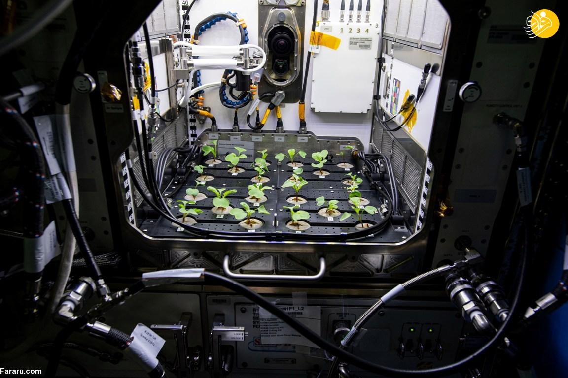 کاشت تربچه در فضا!