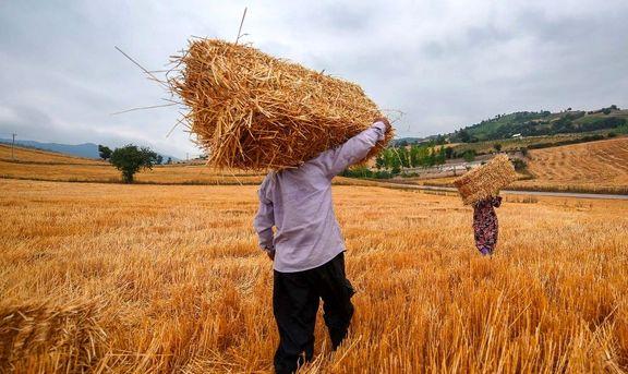 خطر تکرار راه رفته مرغداران برای گندمکاران/ بازنگری در قیمت خرید تضمینی گندم/ واردات گندم ۸ هزار تومانی چقدر جدی است؟