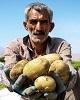 ارزانی سیبزمینی، دسترنج کشاورزان را به باد می دهد/...