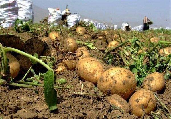 ارزانی سیبزمینی، دسترنج کشاورزان را به باد می دهد/ تار عنکبوتی، چالش هر ساله کشاورزان/ گرانی سیب زمینی در راه است؟