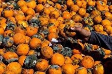 پشت پرده نابودی ۳۰ هزار تُن پرتقال در انبارها/ طمع سود بیشتر، کام مردم را تلخ کرد