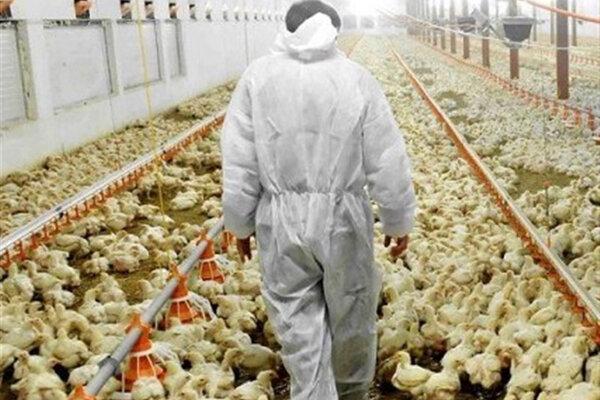 قتل عام مرغها بعد از دریافت دان یارانهای