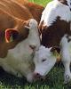 بی تدبیری دولت تمامی ندارد؛ پس از کشتار جوجه ها، نوبت به گاوهای باردار رسید!