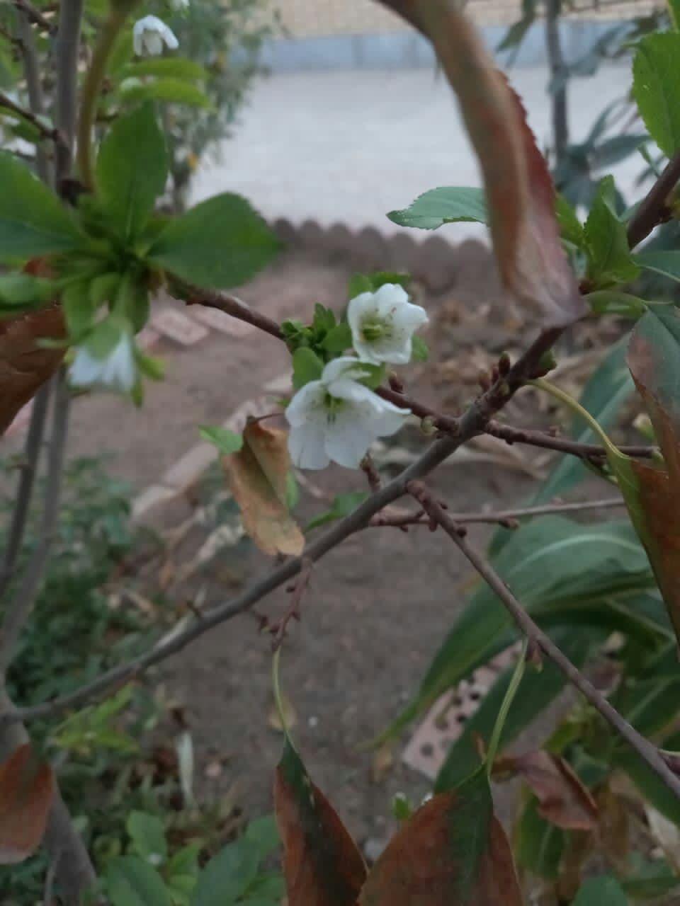 بازشدن شکوفه های گیلاس در اراک