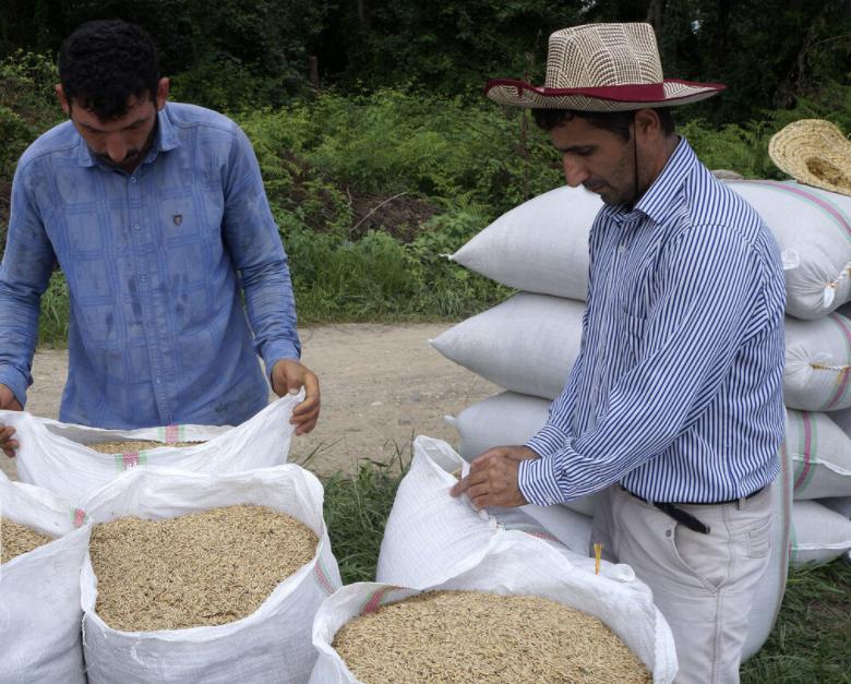 پیشبینی تولید 2.2 میلیون تن برنج در سال زراعی جاری