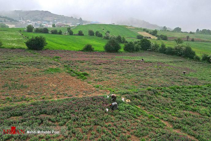resized 1351391 181 - برداشت گل گاوزبان در مازندران