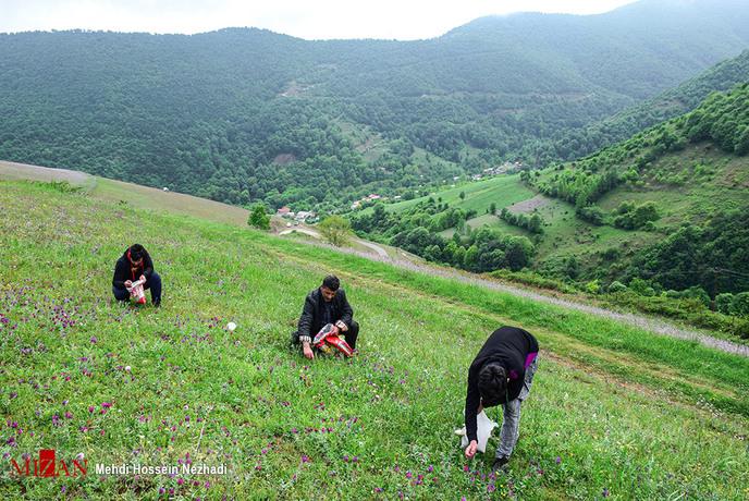 resized 1351397 385 - برداشت گل گاوزبان در مازندران