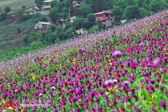 resized 1351401 141 - برداشت گل گاوزبان در مازندران