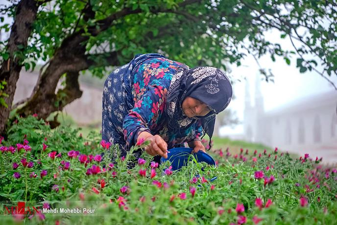 resized 1351402 633 - برداشت گل گاوزبان در مازندران