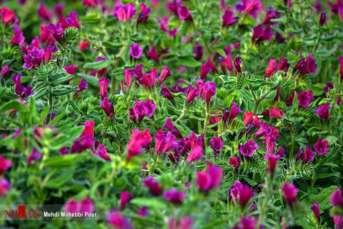 resized 1351404 171 - برداشت گل گاوزبان در مازندران