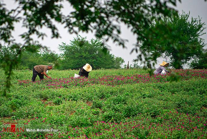 resized 1351407 314 - برداشت گل گاوزبان در مازندران