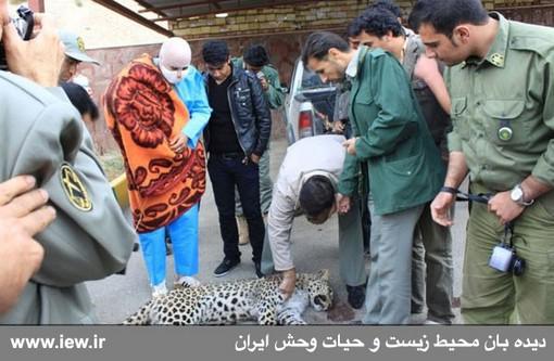پلنگ کشته شده در دماوند