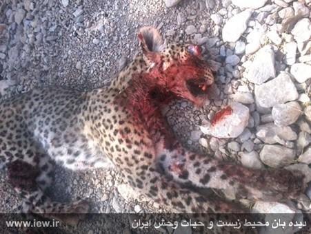کشتار پلنگ در پشتکوه فارس
