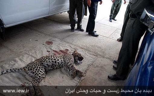 مرگ پلنگ در شهرستان ایذه با شلیک ماموران نیروی انتظامی پس از حمله به روستا