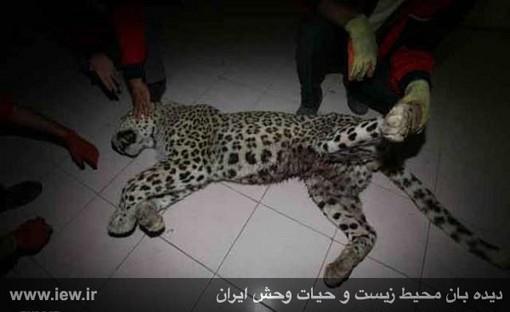 کشته شدن پلنگ پس از حمله روستای مجن