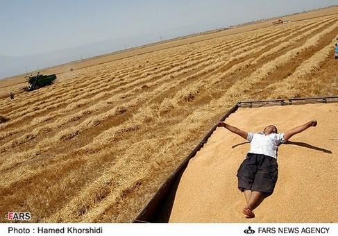 برداشت گندم در ترکمن صحرا