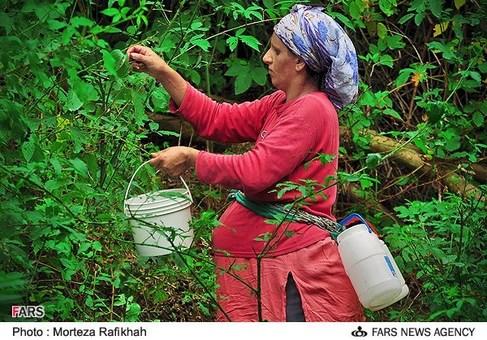 برداشت تمشک از جنگل های روستای ملکرود استان گیلان