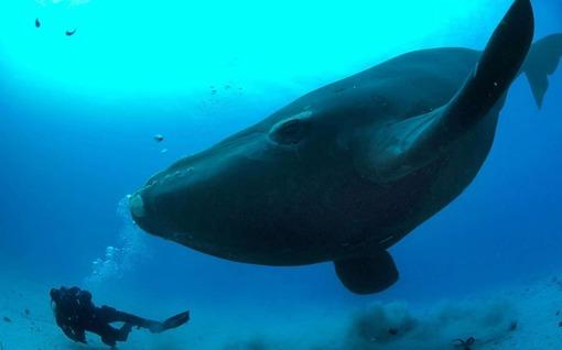 نهنگ شکار جنوبی یک نهنگ شکار جنوبی که با نام علمی Eubalaena australis شناخته میشود، در آبهای اطراف جزیره اوکلند در نیوزیلند شنا میکند.