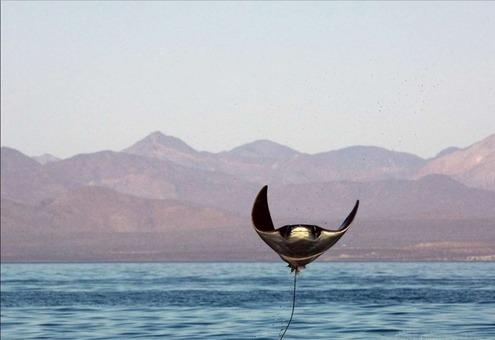سفرهماهی بازیگوش این سفرهماهی مانتا در حالی عکاسی شده که بر فراز آبهای دریای کورتز به هوا پریده است.