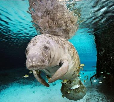 گاو دریایی یک گاو دریایی در حال عبور از میان ماهیهای چشمه آب شیرین در کریستال ریور فلوریدا. ماهیهایی که در اطراف این حیوان جمع شدهاند، دارند از جلبکهایی که روی بدن گاو دریایی وجود دارد، تغذیه میکنند. در گذشته ملوانان این پستاندار آبزی را به اشتباه «پری دریایی» تصور میکردند.