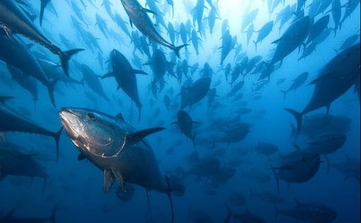 ماهیهای تن دستهای از ماهیهای تن بلوفین که متعلق به یک مزرعه پرورش ماهی در اسپانیا هستند، در آبهای دریای مدیترانه عکاسی شدهاند.