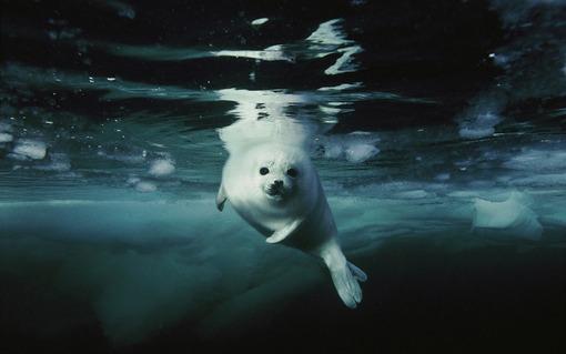 فک کوچک گرمایش جهانی باعث آب شدن یخها در مناطق سردسیر و کاهش مداوم مساحت زیستگاه برای حیواناتی مانند فکهای ساکن خلیج سنتلورنس در کانادا شده است. این حیوانات برای حفظ جمعیت خود سالانه با مشکلات متعددی دست به گریبان هستند.