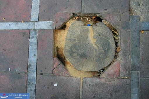 خاک اره اطراف درخت حاکی از قطع بقایای باقی مانده در روزهای اخیر توسط متولی نازنین می باشد!