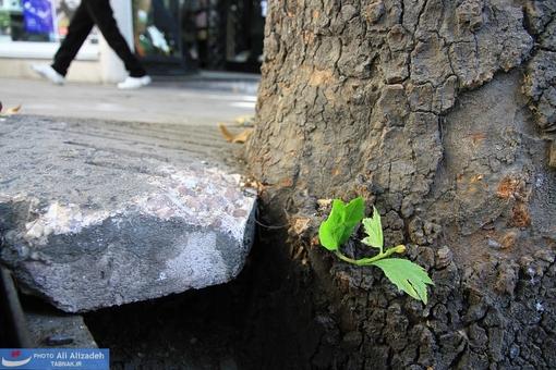 فشار مضاعف سنگ به تنه درخت !