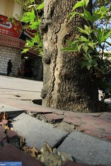 فشار تنه زخمی درخت به سنگهای پیاده رو و شکستن آنها در اثر فشار