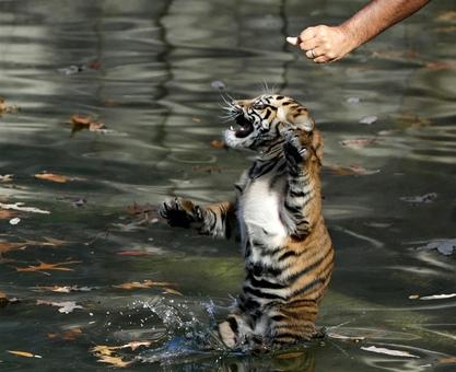آموزش شنا به توله ببر سوماترایی در باغ وحش ملی اسمیتسونیان واشنگتن دی سی توسط متصدی آموزش به گربه سانان Gary Cameron / Reuters