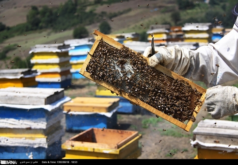 برداشت عسل در آستارا