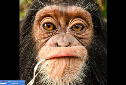6.دختر بچه: سانگا-یانگ؛ مرکز نجات شمپانزه؛ کامرون. عکاس: Allison Leach  شرح عکس: نیانگا یک بچه شمپانزه یتیم از تجارت گوشت است و در مرکز حمایت شمپانزه سانگا-یانگ کامرون توانبخشی شده است.