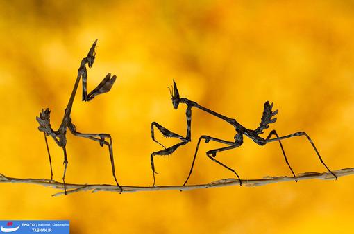 7.مبارزه: «Praying mantises» در کاهرامانماراس ترکیه. عکاس: Mehmet Karaca